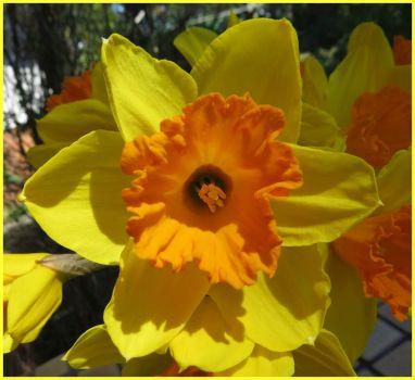 Sunny Daffodil.