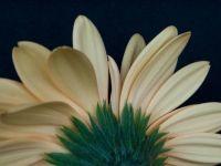 Under the Gerbera Daisy