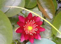 Garden - Pond Lily