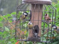 Friends - Goldfinch, Great Tit and Bluetit