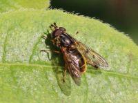 Hoverfly - Ferdinandae cuprea (gewone kopermantel)