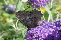 Dagpauwoog vlinder / Aglais io. With closed wings