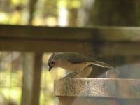 Titmouse in the fall
