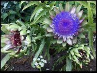 ~Artichoke Plants~