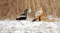 This wasn't what Master Fox expected when he asked Mr Le Pew for his autograph. . .