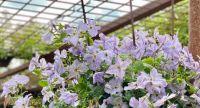 Violet clematis at the pergola