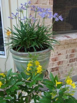 Esperanza and Agapanthus blooms, my patio