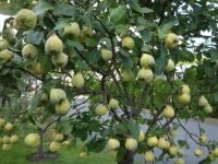 QUINCE TREE PIC2