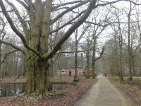 Leopold de mooiste beukenboom van Vlaanderen