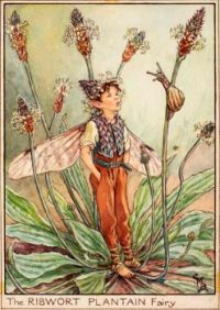 The Ribwort Plantain Fairy