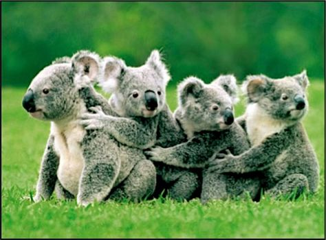 Write a Caption!  koalas