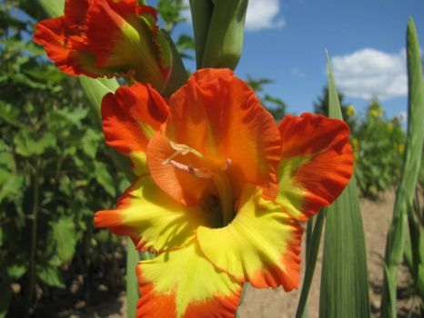 Orange and Yellow Gladiolus