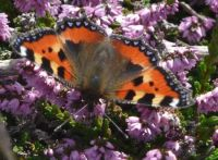 Scilly butterfly, Tortoiseshell