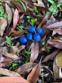 Blue dye seeds