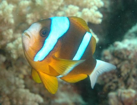 Barrier Reef Anemone Fish
