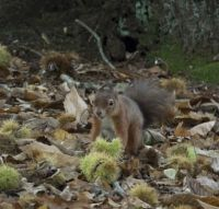 Red Squirrel on Brownsea Island in Poole Harbour