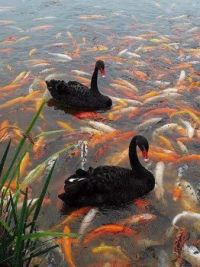 swans and koi