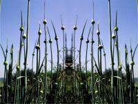 Alien in onion field