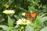 Monarch Enjoying Nectar