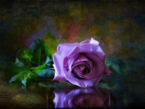 beautiful rose <3