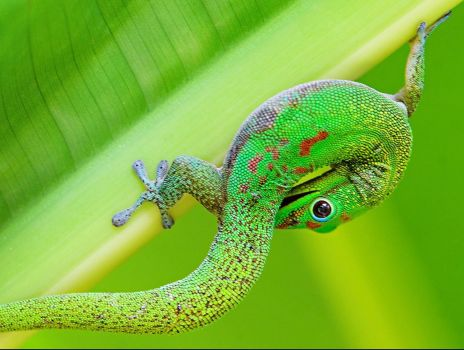 Flexible and colourful Gecko.
