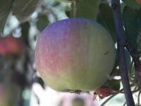 Apple, still ripening