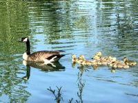 Mama and Ducklings