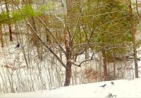 Bluejays in the snow - check out the wild turkey in the upper left-hand corner.
