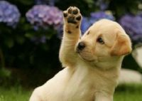 Labrador Puppy Waving