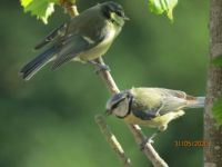 Young Bluetit with parent.