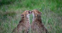 Sibling Love  -  Cheetahs