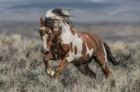 Scott Wilson - WilsonAxpe Photography Picasso - Colorado Sand Wash Basin herd