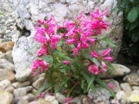 Penstemon barbatus 'Pinacolada™ dark rose' - dračík vousatý