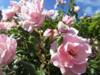Bonica Rose (27 August 2021)