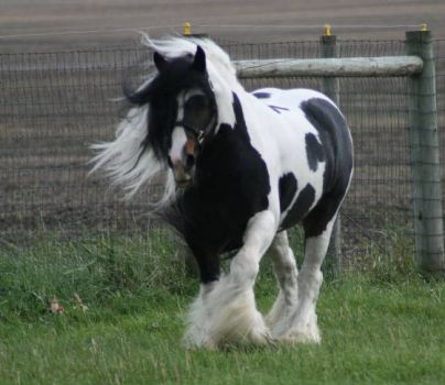 Gypsy Vanner - Touch Of Class.... the stallion to whom my mare Serenade has been bred.