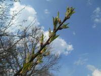Brzy rozkvete - early bloom