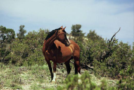 pryor mountain horse