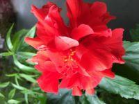 Double petal Red Hibiscus