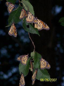 monarchs 5