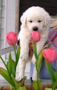 Pejsek a tulipány