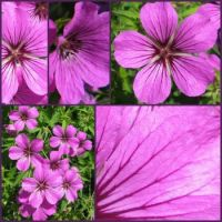 Collage of Geranium