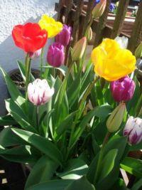 garden tulips 004