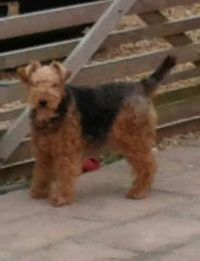 Evie our Welsh Terrier - due for a haircut!