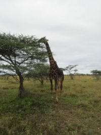 Giraffe eating from the top of a tree.
