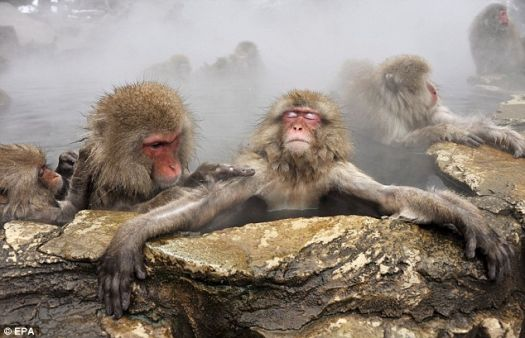 Japanese Snow Monkey's hot tubbin'