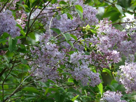Lilac in the morning sun