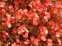 Begonia group shot
