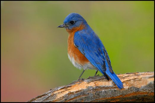 Another Eastern Bluebird for Ank & Elina
