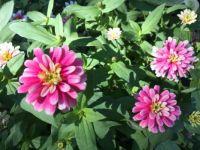 the enduring cheerfulness of zinnias--challenging