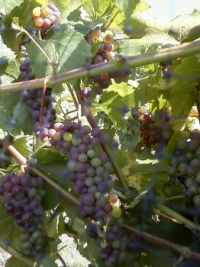 grapes on the vine, Niagara on the Lake ON